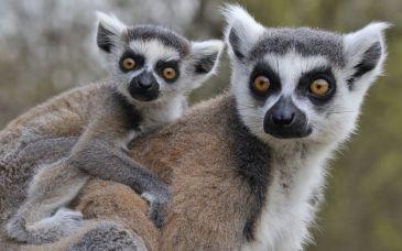 baby lemur.jpg