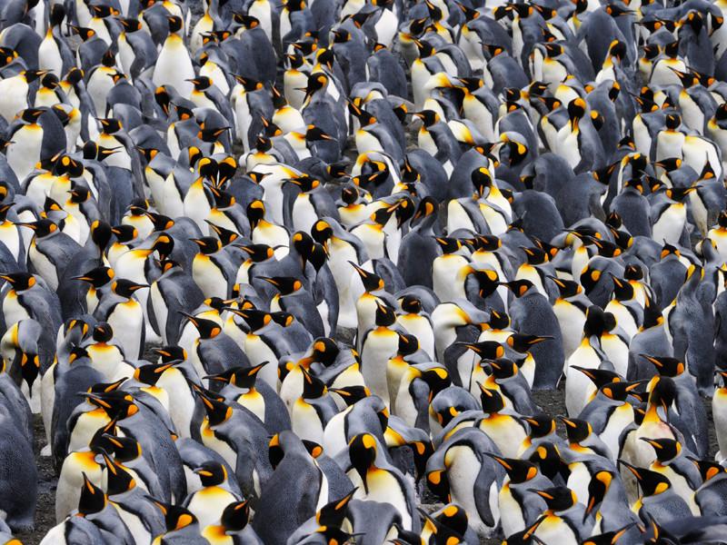 colony_penguins.jpg